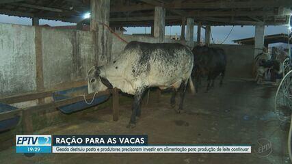 Geada destrói pastos e preocupa produtores de leite na região de Ribeirão Preto, SP