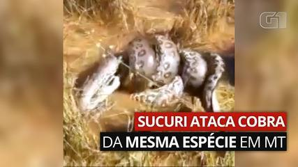 Sucuri attacks snake of the same species in MT