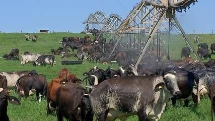 Fazenda realiza fertilização in vitro em vacas para reprodução em Lins
