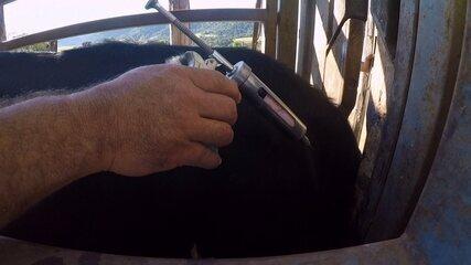 Pecuaristas devem vacinar rebanho contra febre aftosa neste mês
