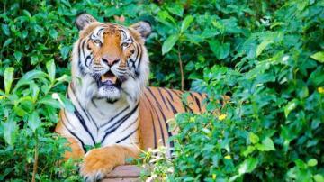 siberian_tiger_601418182 نمر سيبيري يثير حيرة خبراء الحياة البرية بعد خروجه طلبا لمساعدة الإنسان المزيد