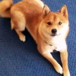 Shiba Inu Dogs And Puppies Cute Funny Dog Videos Video Dailymotion