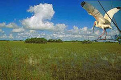 A White Ibis flies over water grass in the Everglades National Park.