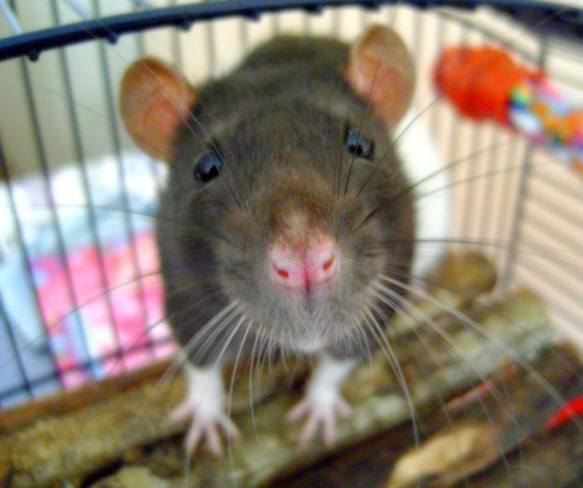 Curiosity is perhaps one of the best reasons that rats have such extensive intelligence.