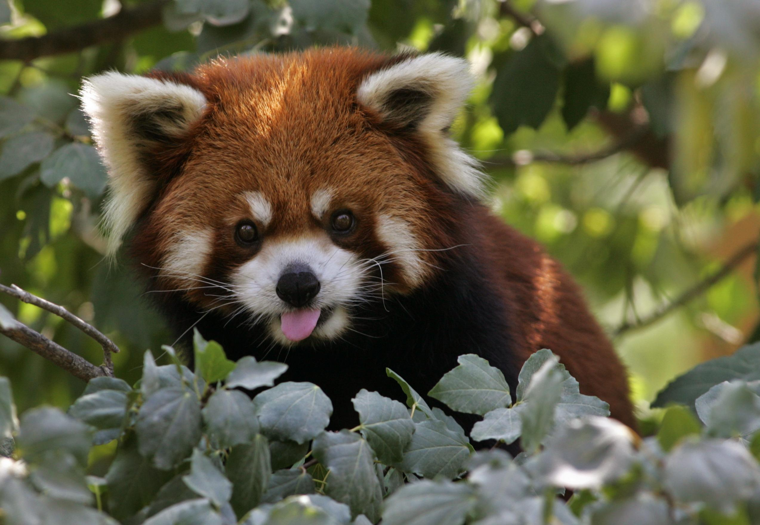 Chinese Zoo Recovers Red Panda On The Lam For Eight Months [PHOTOS]