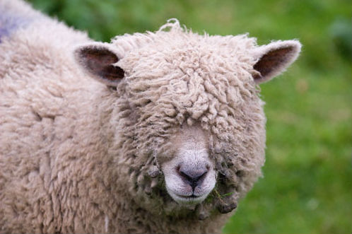 Image result for pulling the wool over your eyes
