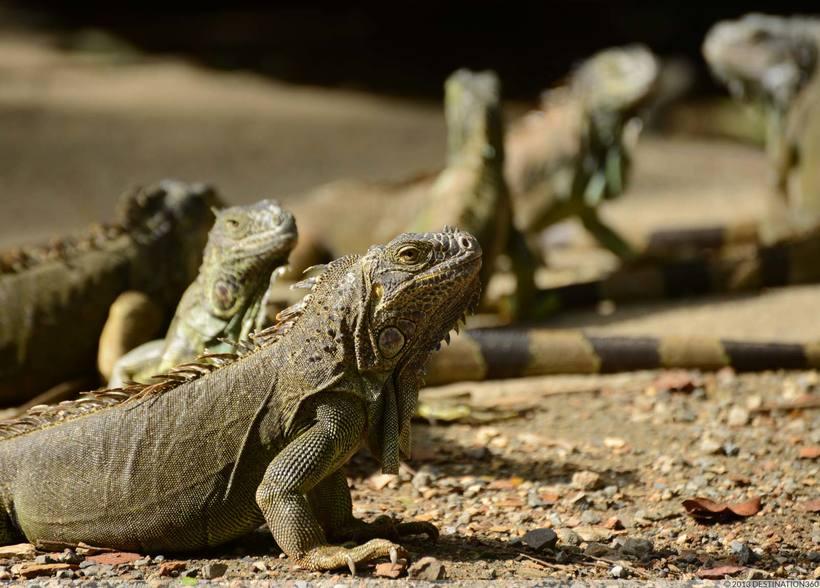 semne de pierdere în greutate în iguana