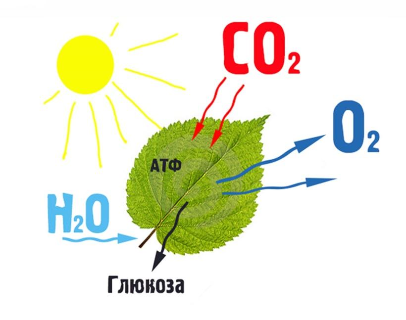Одностадийный и двухстадийный фотосинтез