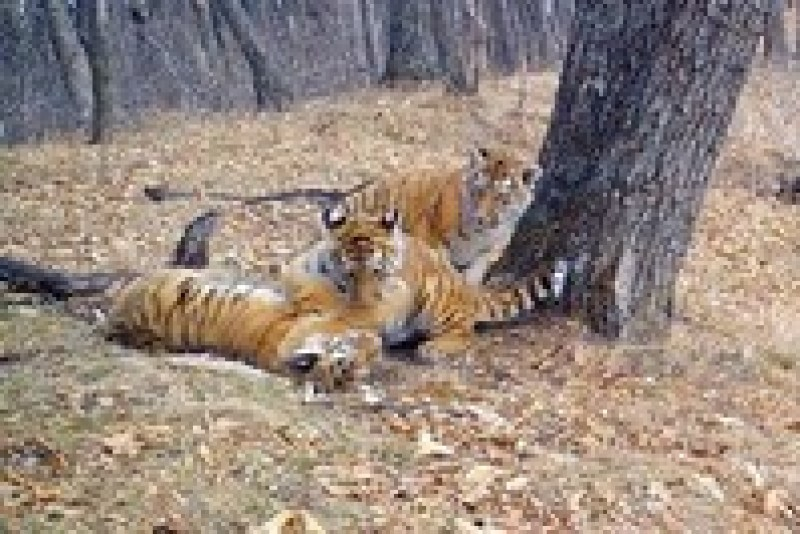 Видео: Фотоловушка запечатлела, как резвятся амурские тигрята