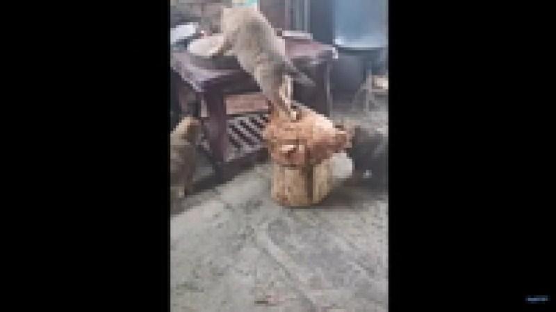 Видео: Щенок забрался на курицу, чтобы стащить лакомство со стола