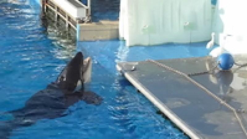 Видео: Косатка в бассейне приманивает птицу рыбой, хотя в океане так не делает