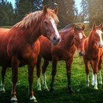 Wallpaper Three Brown Horses Grass 1920x1200 Hd Picture Image