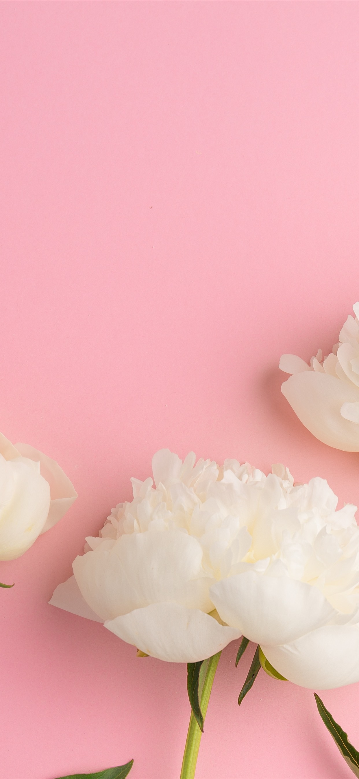 White Peonies Pink Background 1242x2688 Iphone 11 Pro Xs Max Wallpaper Background Picture Image