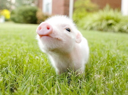 Why we shouldn t eat pigs the vegan lily - What do miniature pigs eat ...