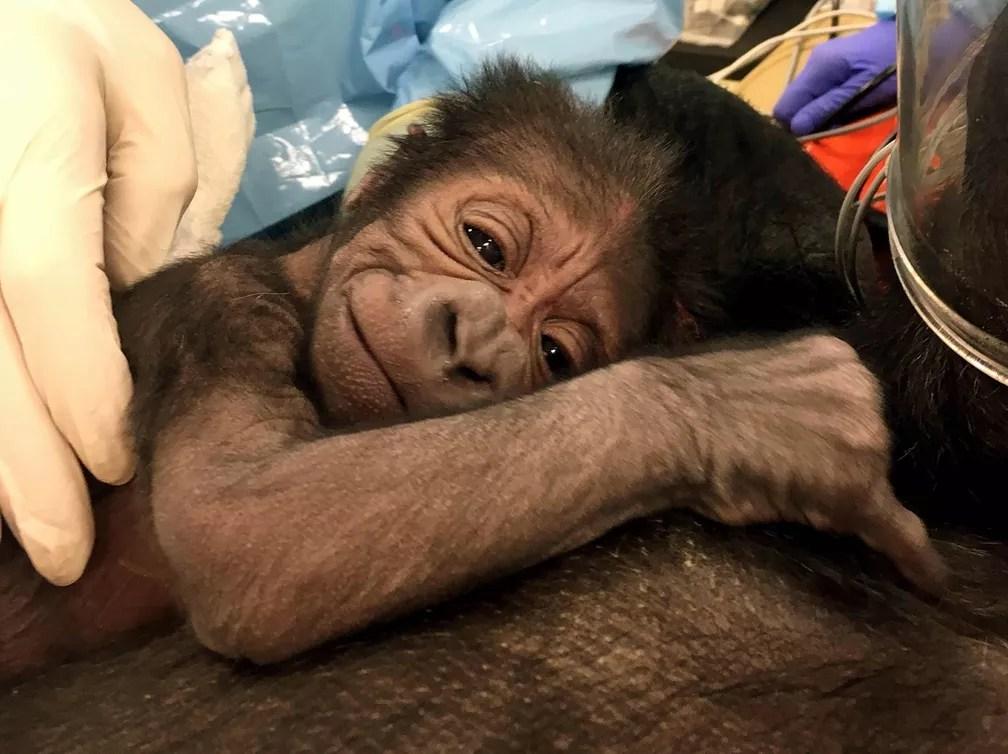 6 de junho - Bebê gorila descansa sobre o peito da mãe, Kira, após um parto complicado que durou uma hora e meia no Zoológico da Filadélfia, nos EUA. Uma equipe de médicos e veterinários precisou realizar procedimentos típicos de parto humano para trazer o gorilinha à luz, usando um fórceps e realizando uma episiotomia. A foto de sexta (2) foi divulgada nesta terça-feira (6) (Foto: AP/Philadelphia Zoo)