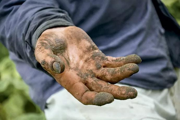 Detalhe da mão do agricultor depois de um dia de colheita (Foto: Fernando Angeoletto)