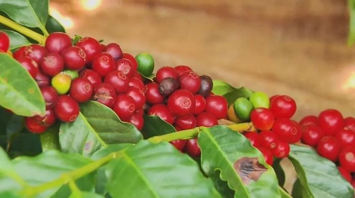 Pé de café em Varginha/SP — Foto: Reprodução/EPTV