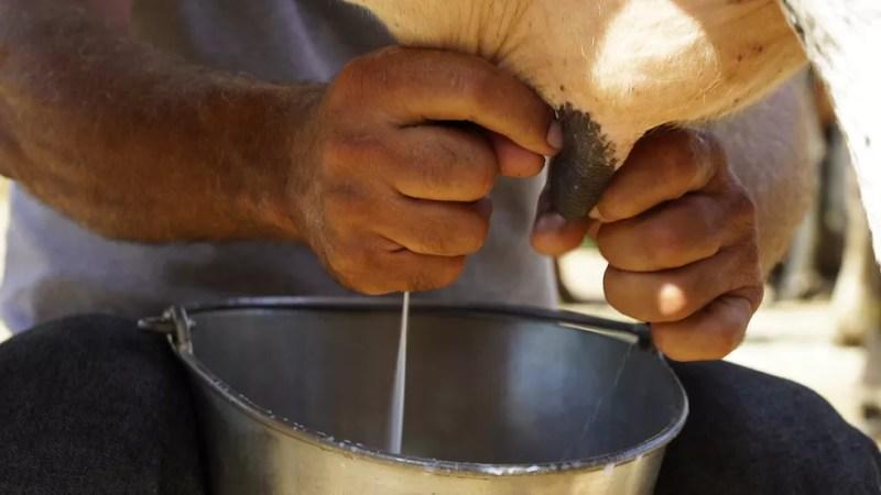 Produção de leite — Foto: Globo Repórter