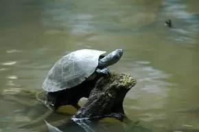 Mercúrio estaria afetando tartarugas do Rio Tapajós no Pará (Foto: Ary Souza/ O Liberal)