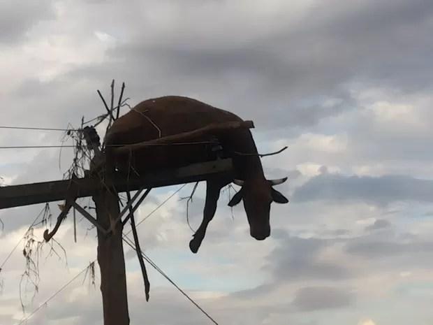 Após cheia do Rio Uruguai, vaca foi parar em um poste em São Borja, no Rio Grande do Sul (Foto: Flávio Robalo/Arquivo Pessoal)