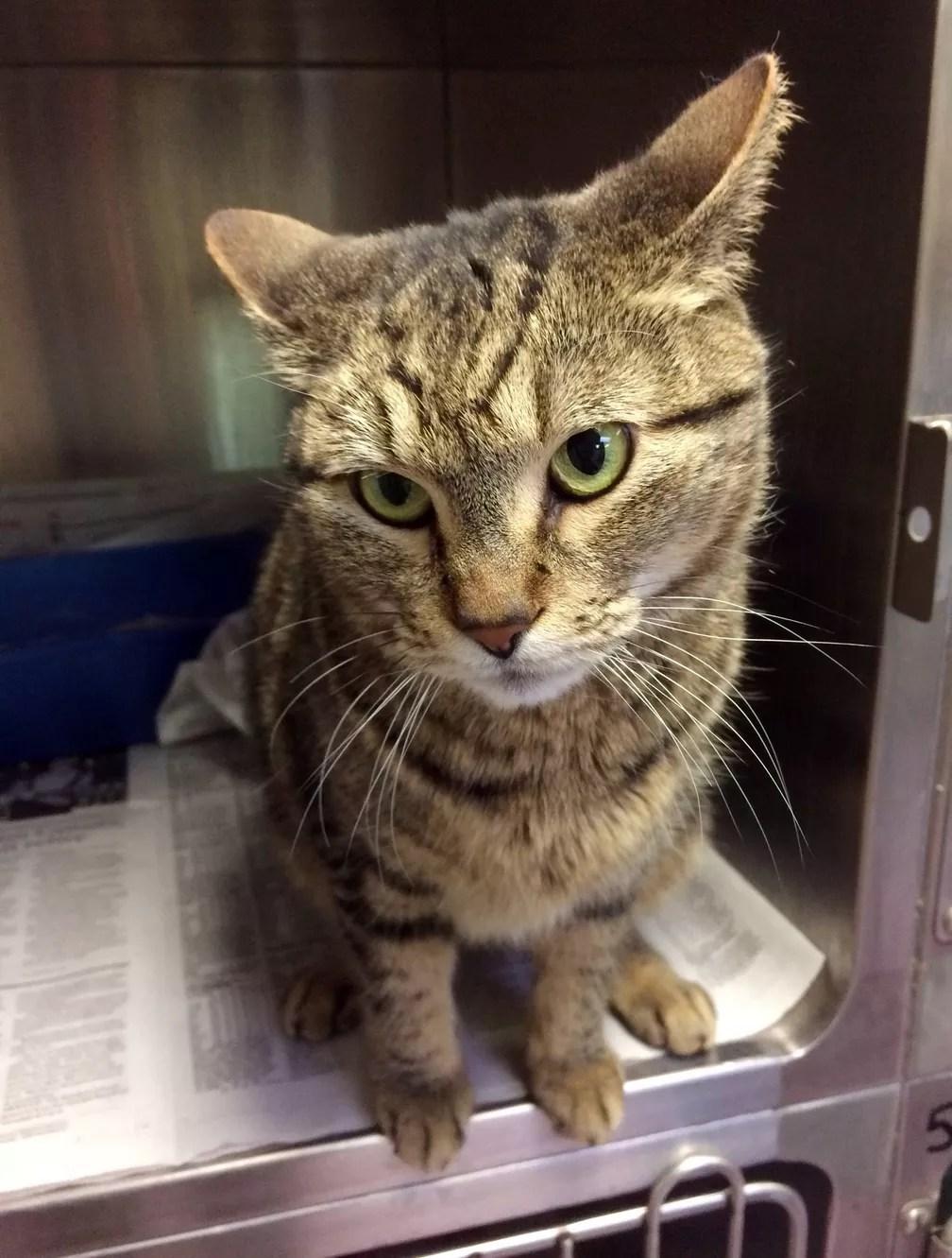 Veterinários descobriram que BooBoo havia desaparecido nos EUA, pois a gata tinha um chip de identificação. (Foto: Guelph Humane Society via AP)
