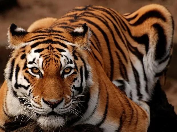 Tigre-siberiano (Panthera tigris altaica) (Foto: Laura Bertola/Nature)