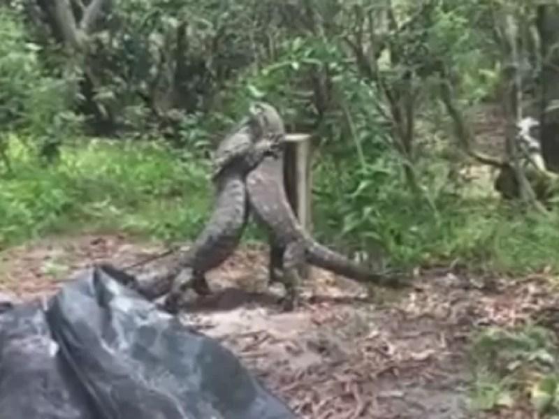 Dois lagartos de cerca de dois metros foram flagrados brigando em ilha australiana (Foto: Reprodução/Facebook/Sunshine Coast Snake Catchers 24/7)