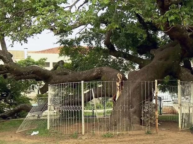 Árvore centenária e tombada pelo patrimônio perde parte da copa em Pouso Alegre (Foto: Edson de Oliveira / EPTV)