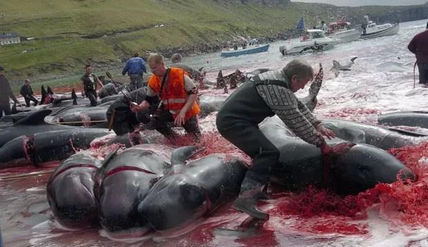 A carne de baleia-piloto já foi uma importante fonte de alimentação nas ilhas. Após a pesca, a carne não é comercializada, e sim distribuída na comunidade. (Foto: Andrija Ilic/Reuters)