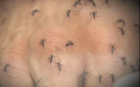 Mosquito Aedes aegypti é responsável por transmitir a chikungunya, dengue e zika (Foto: Reprodução/ TV TEM)