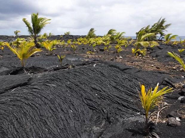 Coqueiros emergem de campo de lava perto da praia de New Kaimu, no Havaí (Foto: Marco Garcia/AP)