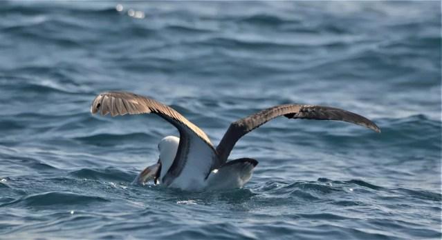 Flagrantes de comportamento das aves marinhas também surpreenderam os observadores na saída pelágica — Foto: Fábaio Barata/Acervo Pessoal