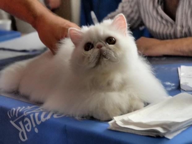 Gato da raça persa. (Foto: PremieR Pet/Divulgação)