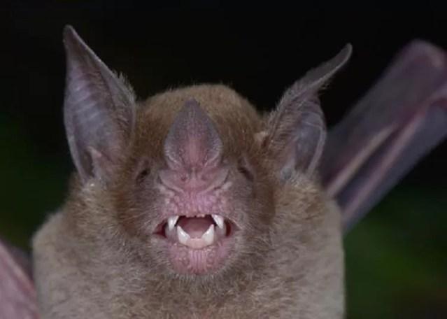 Phylloderma stenops, um morcego que não era visto em Honduras há mais de 70 anos (Foto: TROND LARSEN)
