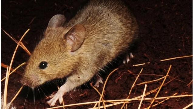 Um dos ratos que estão causando estragos na ilha de Gough — Foto: Ben Dilley/BBC