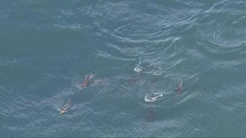 Imagens do Globocop mostraram vários grupos de golfinhos nadando em praia da Zona oeste do Rio na manhã desta segunda (24) — Foto: Reprodução / TV Globo
