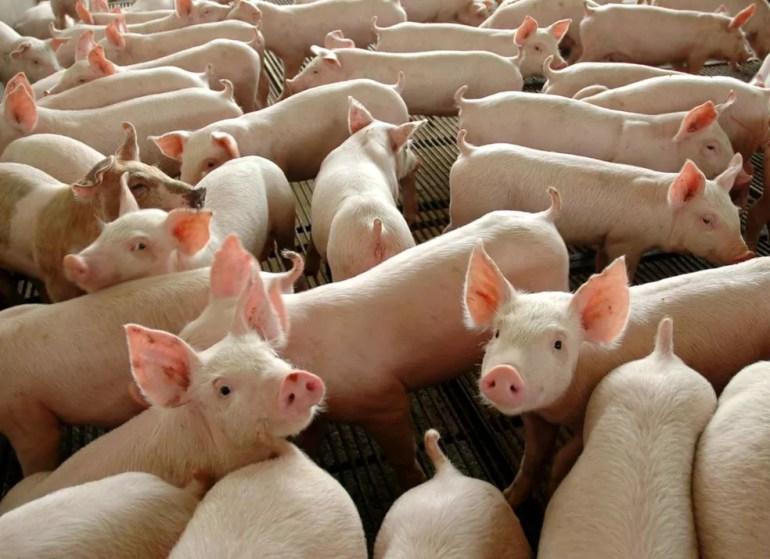 Confira a cotação do quilo do suíno em Rondônia (Foto: José Medeiros / Gcom-MT)