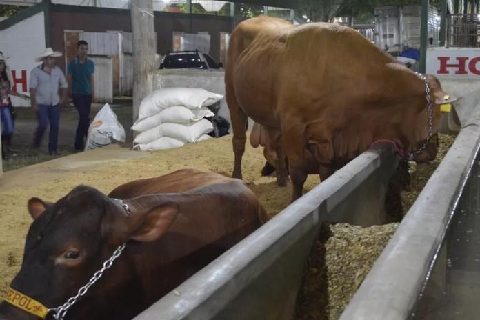 Bovinos da raça Senepol, espécie que tem ganhado destaque na região — Foto: Jeferson Carlos/G1