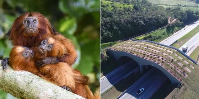Primeiro viaduto vegetado do Brasil foi inaugurado na BR-101, em Silva Jardim, no RJ e também é iniciativa em prol do primata — Foto: Andréia Martins/Divulgação AMLD e Divulgação/Arteris Fluminense