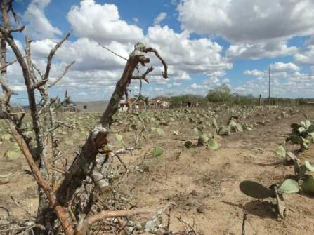 Planta característica de locais secos, a palma está morrendo por falta de água (Foto: Joalline Nascimento/G1)