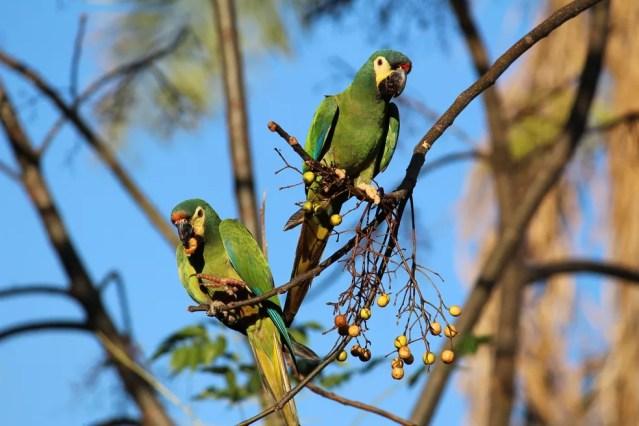 Maracanã-verdadeira também é conhecida por arara-pequena ou ararinha — Foto: Rui Amires/VC no TG