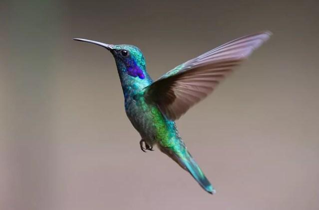 Durante a Primeira Guerra Mundial, foram importados 400 mil beija-flores e 360 mil outras espécies de aves.  — Foto: Pixabay