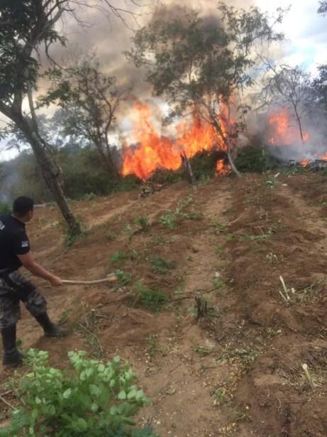 Erradicação de maconha em Santa Filomena (Foto: Divulgação/Polícia Militar)