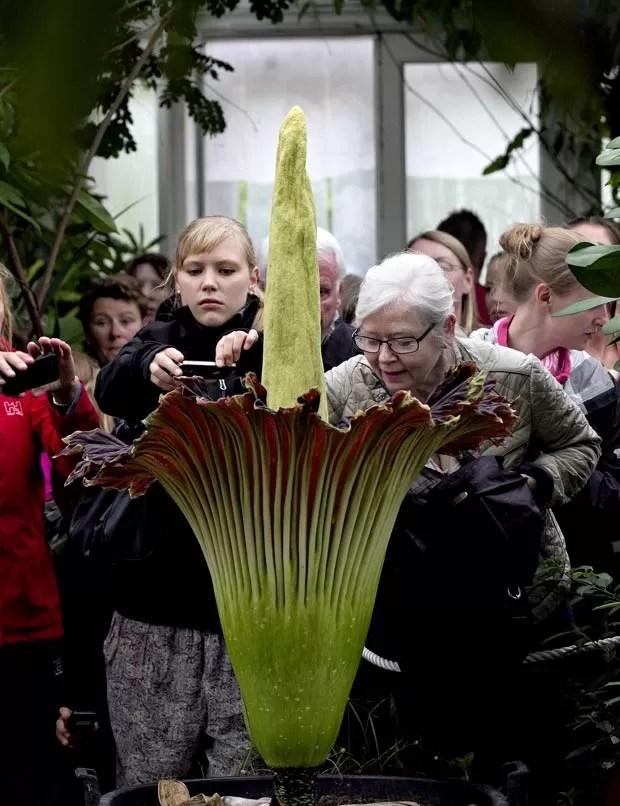 É a primeira vez em nove anos que a planta floresce no jardim botânico de Copenhague. (Foto: Jacob Ehrbahn/Polfoto/AP)