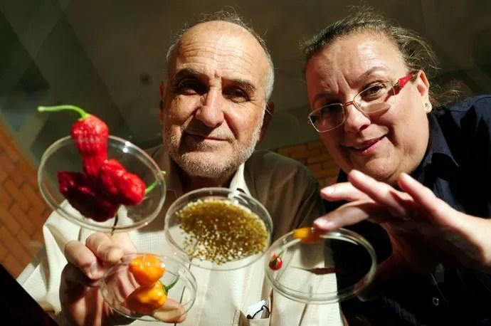 Criação in vitro: Os pesquisadores Francisco Reifschneider e Claudia Ribeiro com as pimentas jandaia laranja e juruti, recém-criadas no laboratório da Embrapa (Foto: Bruno Peres/EditoraGlobo)