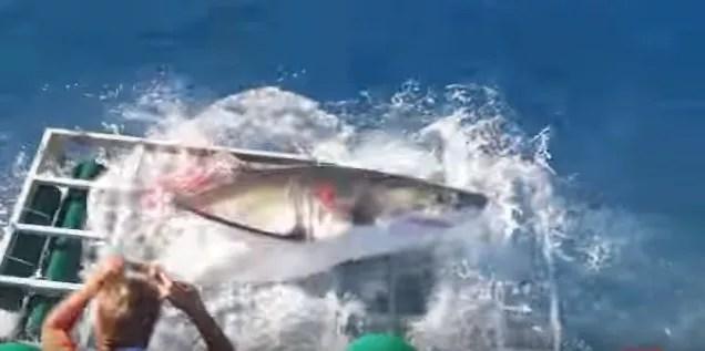 Agitado, o tubarão se feriu