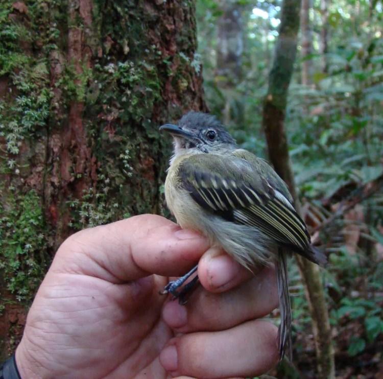 O Tolmomyias sucunduri, nova espécie de pássaro (Foto: Fábio Schunck/WWF)