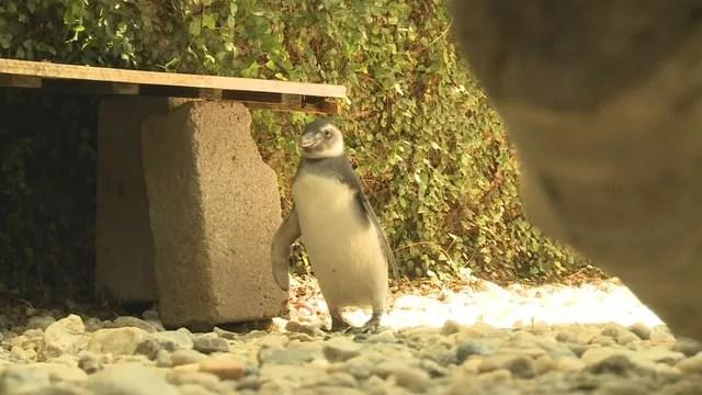Pinguim encontrado com vida passa por reabilitação no IPeC (Foto: Reprodução/TV Tribuna)