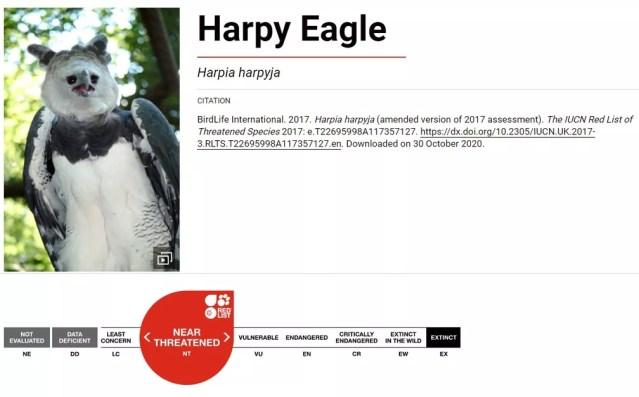 """Harpia está como """"quase ameaçada"""" de extinção na Lista Vermelha Internacional. — Foto: Reprodução/IUCN"""
