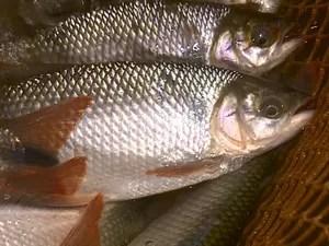 Oito espécies de peixes da região estão ameaçadas (Foto: Paulo Chiari/EPTV)